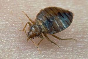 Bed+Bug+on+Skin+2