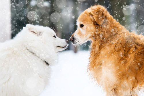 beautiful red and white husky retriever in the snow in winter
